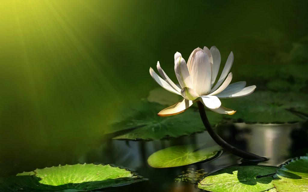 water-lily-wallpaper-background-3264-3432-hd-wallpapers